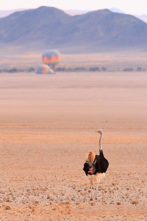 Early morning Ostrich