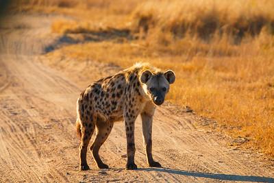 Morning Hyena
